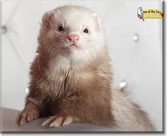 This is Shrek, he is a pastel ferret. He's one simply of the most loving and adorable ferrets I've ever met in my life! Shrek's my first but not the only ferret. In fact, I've got three of them now! Yet he's the most loving and understanding one - Shrek never bites and really enjoys being around people (as long as they give him something tasty or take pictures, hee hee). He loves tunnels - as probably most ferrets do and the best game for him is to play with his ferret-playmates. I ...