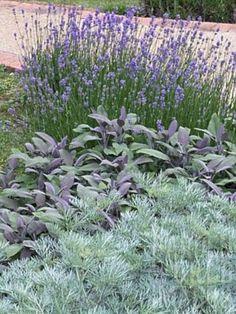 Artemisia, Salvia, Lavendula, Wormwood, Purple Sage And Lavender Sensory Garden Herbs The Secret Garden, Sensory Garden, Dry Garden, Sage Garden, Tuscan Garden, Garden Path, Xeriscaping, Garden Pictures, Garden Cottage