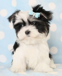Morkie dog. Omg dogs seriously need to stop getting so freakin cute.