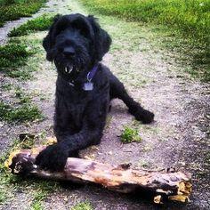 Now that's a giant schnauzer sized stick!