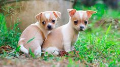 Brother & sister chihuahua shorthair