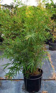 Bamboe plant
