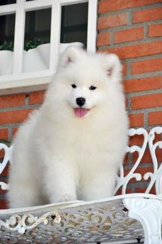 Samoyed Saturday for Photos) Video) Samoyed Dog photos Animals And Pets, Baby Animals, Funny Animals, Cute Animals, Samoyed Dogs, Pet Dogs, Dog Cat, Doggies, Cute Dogs And Puppies