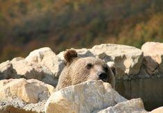 Bär Ron fragt sich bereits, wo der Sommer geblieben ist im BÄRENWALD Prishtina Brown Bear, Beautiful Pictures, Autumn, Gallery, Animals, Fall Weather, Beautiful Images, Animal Welfare, Woodland Forest