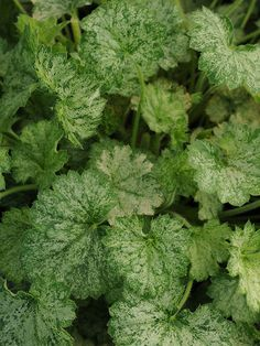 Heuchera sanguinea  'Frosty Morn' ~ attractive green-and-yellow variegated leaves make a great addition to shady borders or containers. In May and June, the plants send up spikes of bright red flowers that will lure hummingbirds to your garden.  Growing Conditions: partial shade Size: 8-10 inches tall, 12 inches wide     Zone: 4-9 Grow it with: hosta or lamium
