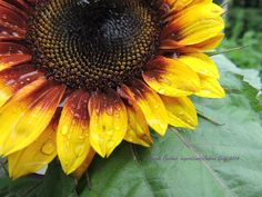 Sunflower after Rain