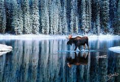 Would make a really nice print for a room-wish this was bigger! #moose Visit our page here: http://what-do-animals-eat.com/moose/