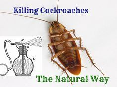 Using essential oils to get rid of cockroaches and other unwanted insects in the house.