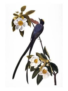 Audubon: Flycatcher, 1827 Giclee Print by John James Audubon at Art.com