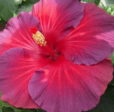Red and purple hibiscus.