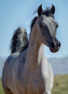 Marsai Mara SWF :: Arabian Horses of Stonewall Farm