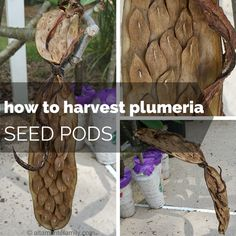 How To Harvest Plumeria Seed Pods | altamontefamily.com