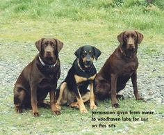 Mismarks & other odd markings in Labradors part 2 - Woodhaven Labradors