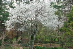 """""""Autumn Brilliance: Serviceberry-an excellent #native small tree for your #landscape"""