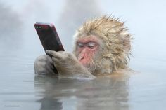[WINNER]: This Japanese macaque swiped his iPhone from a tourist who got too close  #WPYPeoplesChoice http://www.nhm.ac.uk/visit-us/wpy/gallery/2014/images/new-special-award-people-s-choice/4926/facebook-update.html