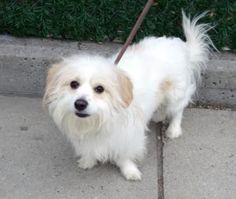 SAFE ♡ My name is TEDDY. My Animal ID # is A1108924. I am a male white chihuahua lh and poodle min mix. The shelter thinks I am about 2 YEARS  I came in the shelter as a OWNER SUR on 04/15/2017 from NY 10452, owner surrender reason stated was NO TIME.