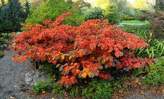 Hamamelisul este un arbust spectaculos mai ales primavara devreme, datorita florilor sale, dar si toamna cand frunzisul sau capata o culoare ruginie.