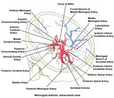 Circle of Willis Anatomy: Overview, Gross Anatomy, Natural Variants
