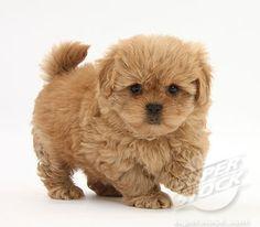 SuperStock - Peekapoo (Pekingese x Poodle) puppy, 7 weeks