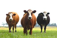 ♥ ~ ♥ Cattle ♥ ~ ♥ Groninger Blaarkop (Dutch)