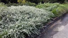 Image result for Helichrysum petiolare Helichrysum, Foliage, Garden, Landscape Plan, Plants