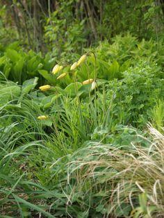 Tulipa sylvestris, vild tulips, hosta and various perennials. Photo: 2009-05-07
