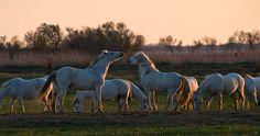 Frühling in der Camargue wurde in Frankreich, Pioch Badet aufgenommen und hat folgende Stichwörter: Pferde,  Provence,  Camargue.