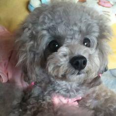 Adorable Little Poodle #poodle