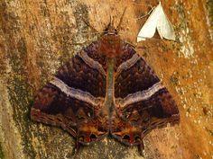 American Swallowtail Moth (Coronidia leachii)