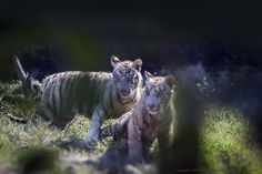 White Tiger Cubs by Amit Kaushal on 500px