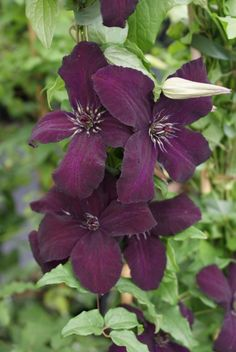 Dark Eyes Clematis