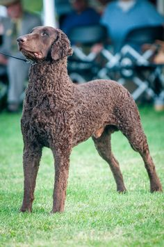 Dog Breeds Pictures, Cute Dog Pictures, Cute Puppies, Dogs And Puppies, Curly Coated Retriever, Unique Dog Breeds, Celebrity Dogs, Bluetick Coonhound, Dog List