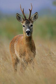 Sarna - Capreolus capreolus Corzo Animal, Animals With Antlers, Animals And Pets, Cute Animals, Deer Drawing, Deer Pictures, Roe Deer, Deer Tattoo, Interesting Animals