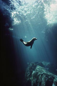 Galapagos Sea Lion (Zalophus wollebaeki) pup cavorting in undersea cave, Seymour Island, Galapagos Islands, Ecuador