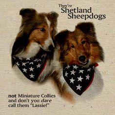 """Shelties: not miniature collies and don't you dare call them """"Lassie""""; YES."""