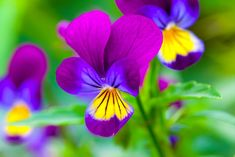 Pansy Flower Meaning ( but these might be violas)