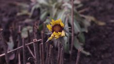 In the middle of december,great hero! Dandelion, December, Middle, Hero, Flowers, Plants, Photos, Photography, Pictures