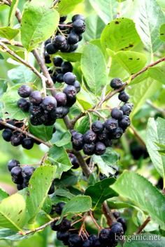 The Aronia Berry