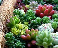 セダムはマンネングサ属ベンケイソウ科の植物。育てやすいこともあり人気の多肉植物です。セダムの育て方から増やし方や寄せ植えアイデアをご紹介します。 | 1ページ目