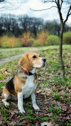 Good beagle
