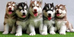"""From """"Husky puppies ready to attack with cuteness"""" Most Beautiful Dog Breeds, Beautiful Dogs, Alaska, Cute Puppies, Dogs And Puppies, Malamute Puppies, Husky Husky, Fur Babies, Dog Lovers"""