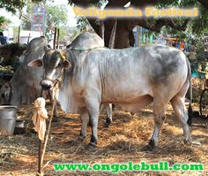 Ongole bull Competitions 2013