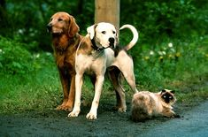 """Chance, Shadow and Sassy from """"Homeward Bound:The Incredible Journey""""- Cannot watch without crying"""