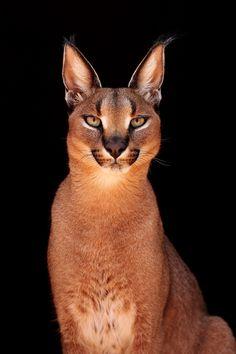 Ginger Animal of the Week Caracal / Desert Lynx... - for-redheads
