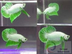Some interesting betta fish facts. Betta fish are small fresh water fish that are part of the Osphronemidae family. Betta fish come in about 65 species too! Pretty Fish, Cool Fish, Beautiful Fish, Animals Beautiful, Betta Fish Tank, Beta Fish, Aquarium Fish Tank, Fish Tanks, Colorful Fish