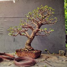 """Here's a tree: It needs trimming, wiring and repotting. Portulacaria afra, Latin meaning """"leaves like a portulaca"""" (which is known as purslane and moss rose) and """"african… Bonsai Pruning, Bonsai Soil, Bonsai Plants, Bonsai Garden, Jade Bonsai, Succulent Bonsai, Terrarium Plants, Succulents Garden, Miniature Trees"""