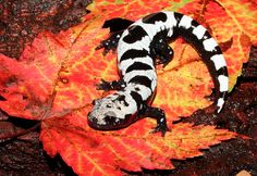 Marbled Salamander. Salamanders have 550 species of amphibians and are typically characterized by a superficially lizard-like appearance, with slender bodies, short noses, and long tails. Salamanders have never more than four toes on their front legs and five on their rear legs, but some species have fewer. Their moist skin usually makes them reliant on habitats in or near water, or under some protection (e.g., moist ground), often in a wetland.