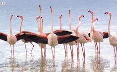 Il FENICOTTERO ROSA  Vive nello stagno di Santa Gilla( Cagliari).  Il fenicottero è una specie inconfondibile, lunga 1,30 m, con un'apertura alare di circa 140 cm. ed un peso variabile tra i 2 ed i 4 kg. Si tratta di un trampoliere rosato con collo e zampe lunghissimi e il becco incurvato; la colorazione del becco è rosa con la punta nera mentre le zampe sono rosate e palmate. La colorazione delle ali è rossa in netto contrasto con le remiganti nere, mentre il restante piumaggio è bianco.