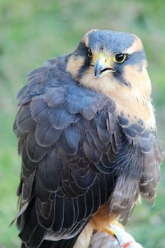 Aplomado Falcon. Yellow feather near head, small bit on chest. Black, grey and blue feather on wings and yellow talons. Yellow eyes with giant round pupils.