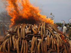 """""""When a country destroys ivory, it means they put behind them any chance of underhanded dealings,"""" Iain Douglas-Hamilton. Read more from Nat Geo: http://newswatch.nationalgeographic.com/2013/08/02/destroying-elephant-ivory-stockpiles-no-easy-matter/"""